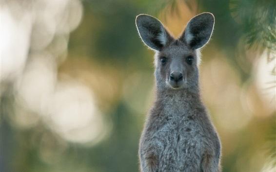 Wallpaper Gray kangaroo