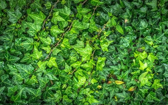 Papéis de Parede Folhas verdes, após a chuva, gotas de água