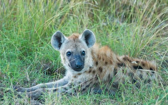 Papéis de Parede Hyena descanse na grama, predador
