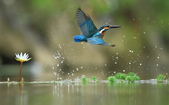 Wallpaper Kingfisher flight, water drops, lake, water lily