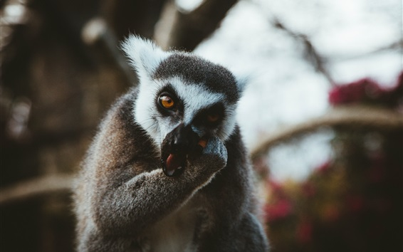 Wallpaper Lemur eat food