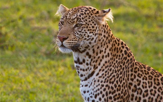 Wallpaper Leopard, wild cat, grass