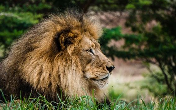 Papéis de Parede Vista lateral do leão, cabeça, juba