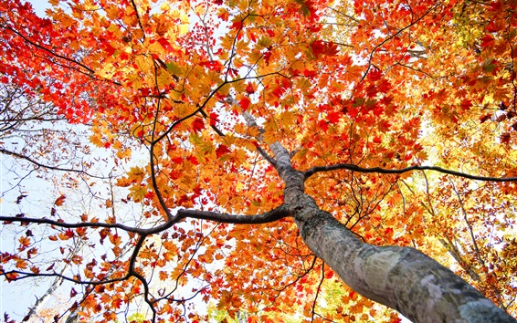 Wallpaper Maple tree, red leaves, bottom view, autumn
