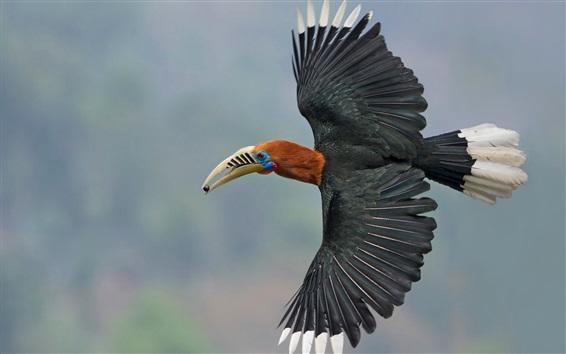 Обои Непальский Хорнбилл, крылья, полет