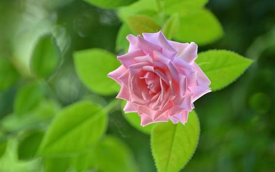 Papéis de Parede Uma rosa rosa, folhas verdes de fundo