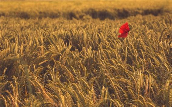 壁紙 小麦畑に赤いケシの花1個