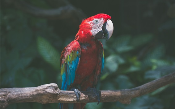 Wallpaper Parrot, colorful feathers, macaw