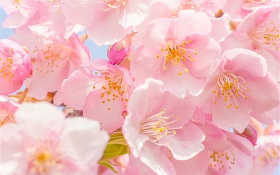 Wallpaper Pink cherry flowers bloom, spring, petals