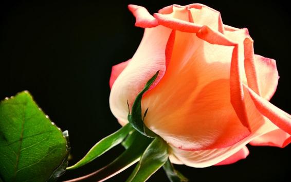 Wallpaper Pink rose, black background