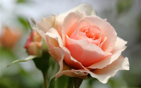 Обои Розовая роза крупным планом, лепестки