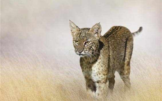 Papéis de Parede Predador, lince, gato selvagem, grama