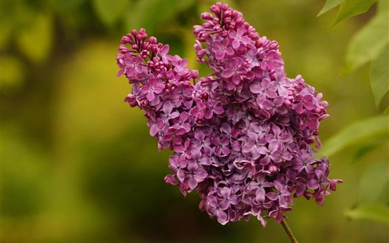 Wallpaper Purple flowers, lilac, inflorescence