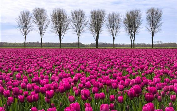 Wallpaper Purple tulips field, trees