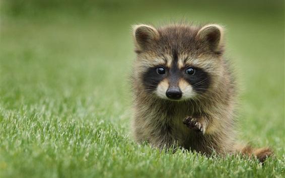 Papéis de Parede Raccoon na grama, brincalhão