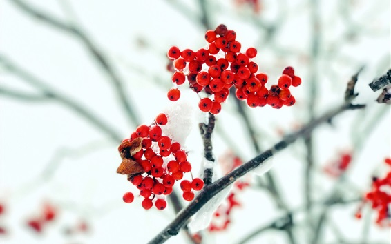 Wallpaper Red berries, twigs, snow, frost