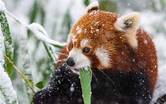 Papéis de Parede Panda vermelha no inverno, nevado