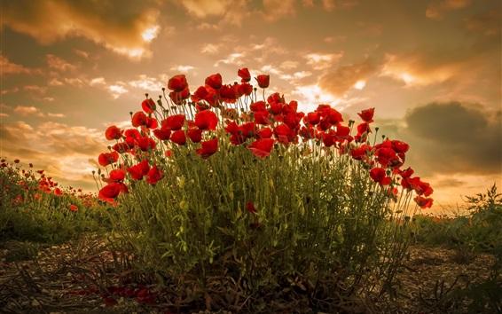 壁紙 赤い羊毛、花、夕日、雲