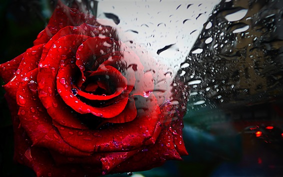 Papéis de Parede Rosa vermelha, vidro, gotas de água