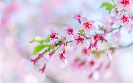 Papéis de Parede Sakura, lindas flores rosa florescem, primavera