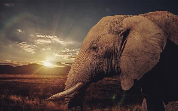 Fond d'écran Savane, éléphant, coucher soleil