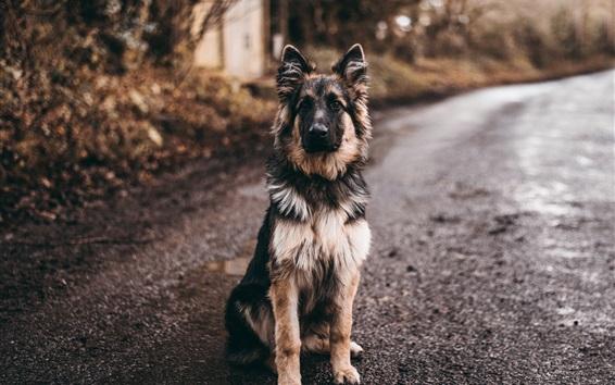 Wallpaper Shepherd dog sit on ground