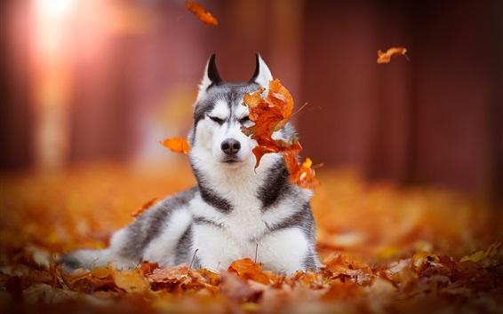 Wallpaper Siberian husky, dog, red leaves