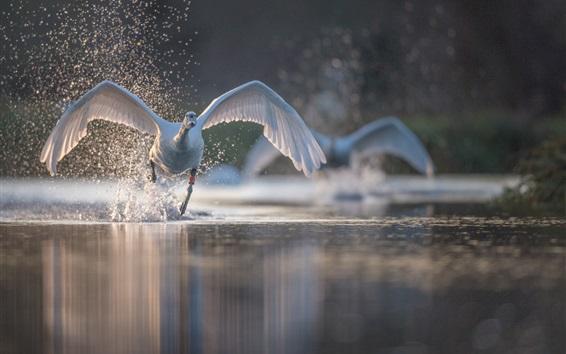 Wallpaper Swan flight, wings, water