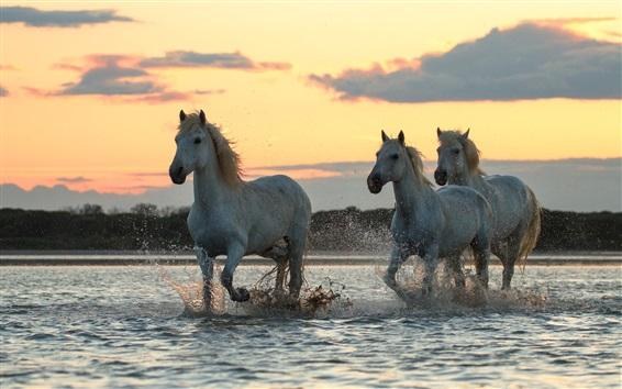 Fond d'écran Trois chevaux courent dans l'eau