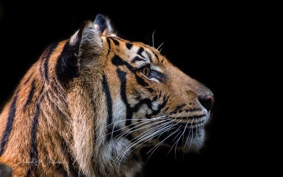 Fond d'écran Visage de tigre, fond noir