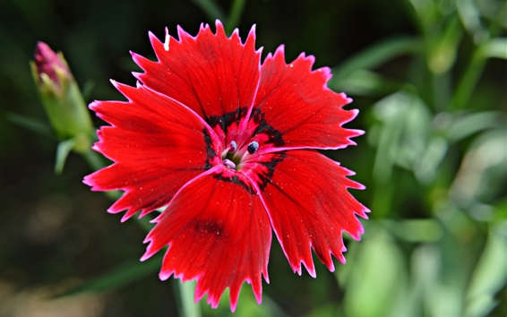 Wallpaper Turkish carnation, red flower