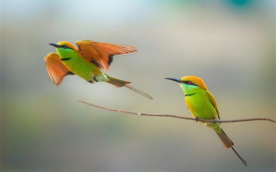Wallpaper Two birds, bee-eater