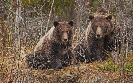 Papéis de Parede Dois ursos pardos, arbustos