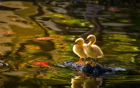 Wallpaper Two ducklings, lake, water