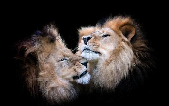 Papéis de Parede Dois leões, fundo preto