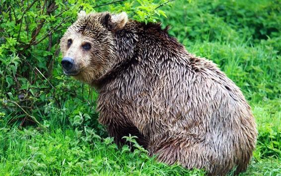 배경 화면 젖은 곰 다시 봐, 덤 불, 녹색
