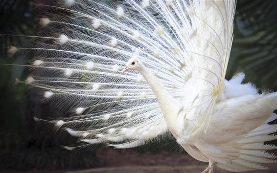Papéis de Parede Pavão indiano branco, cauda