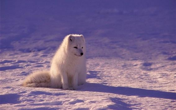 Papéis de Parede Raposa branca à noite, neve
