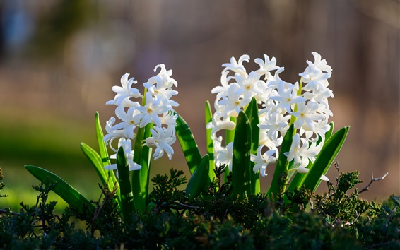 Wallpaper White hyacinths flowers, green leaves