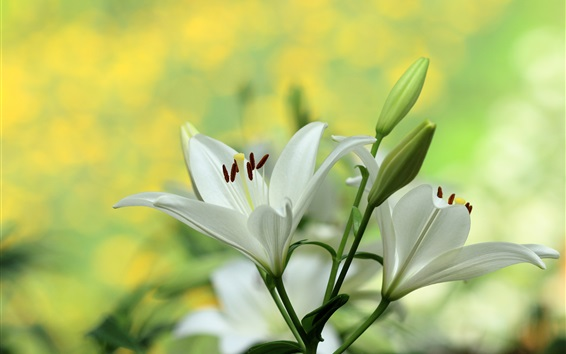 Wallpaper White lily, flowers photography