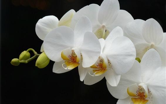 Обои Белый фаленопсис