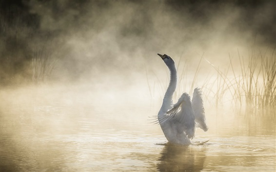 Wallpaper White swan, lake, grass, fog, morning