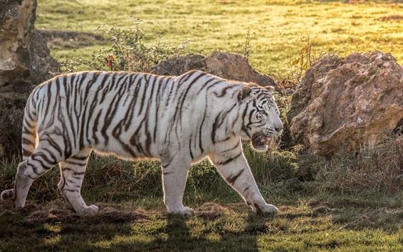Обои Белый тигр гуляет в траве