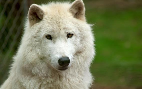 Papéis de Parede Vista frontal do lobo branco, rosto