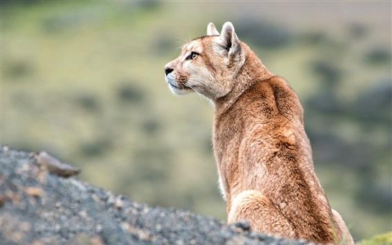 Wallpaper Wildlife, puma look at side