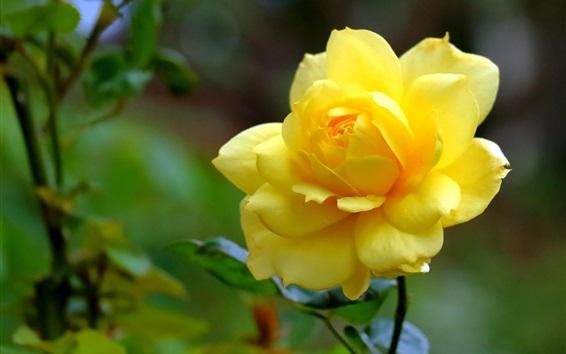 Papéis de Parede Rosa amarela close-up, pétalas, flor