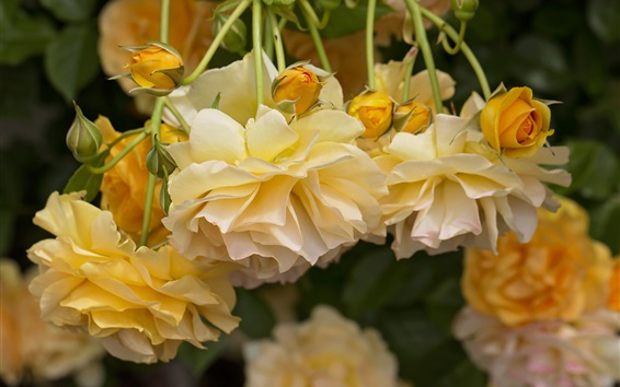 Fondos de pantalla Rosas amarillas, pétalos, flores