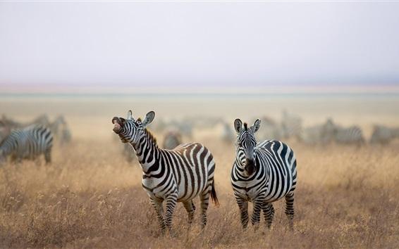 Wallpaper Zebra, animals, grass