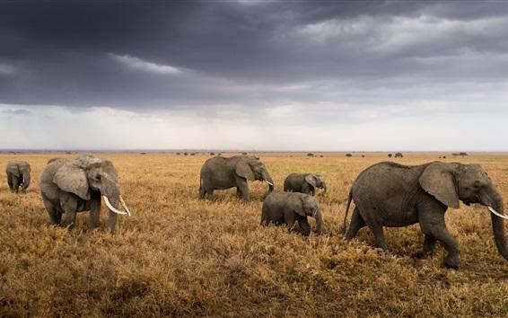 Papéis de Parede África, Tanzânia, Parque Nacional do Serengeti, grama, elefantes