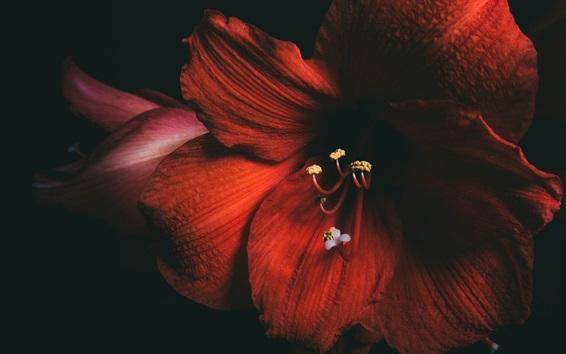 Обои Амариллис, красные цветы, черный фон